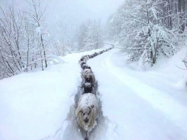 Sheep Snow Trail | 10 Best Photographs Ever Taken Without Photoshop
